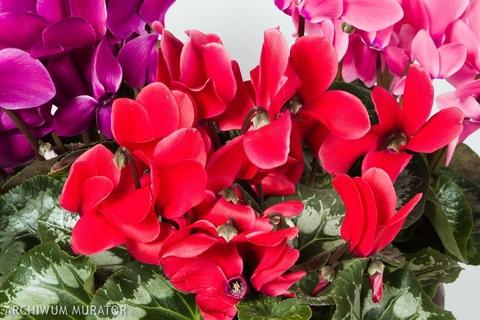 Kwiaty Doniczkowe Prymulki Jak Dbać O Prymule W Domu